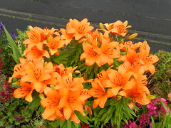 Tiger Lilies, Invergordon, June 2017 (allanmaciver) Tags: tiger lily bright colours beautiful admire enjoy delight invergordon easter ross allanmaciver