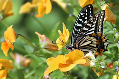 Swallowtail Butterfly (Johnnie Shene Photography(Thanks, 2Million+ Views)) Tags: swallowtailbutterfly butterfly swallowtail oldworldswallowtail lepidoptera sideview macro closeup magnified adjustment fulllength depthoffield bokeh feeding animal animalandplant pansy feeler photography horizontal outdoor colourimage fragility freshness nopeople foregroundfocus interesting awe wonder behaviour korea asia nature natural wild wildlife livingorganism tranquility wings limbs spring day flower plant insect bug elegance beautiful amazing modified canon eos80d 80d tamron 90mm f28 11 lens 호랑나비 나비 곤충 접사 매크로 동물