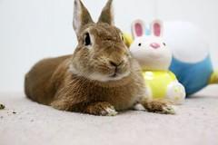 Ichigo san 732 (Ichigo Miyama) Tags: いちごさん。うさぎ ichigo san rabbitbunny netherlanddwarf brown ネザーランドドワーフ ペット いちご うさぎ rabbit