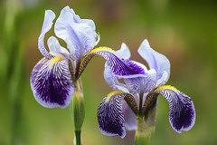 Shoved...  I am the Star (Ben-ah) Tags: iris edina beardediris americanirissociety presby presbymemorialirisgardens spring star shove macro flower bloom