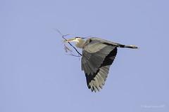 Tis' the Season (Chantal Jacques Photography) Tags: tistheseason heron wildandfree bokeh depthoffield buildingnest birdinflight