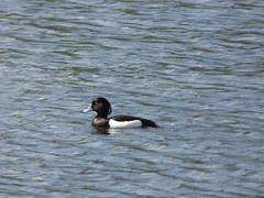 Tufty (Lexie's Mum) Tags: walks walking coombecountrypark coombe coombeabbey warwickshire nature spring bird birds wildlife wildfowl waterfowl duck tuftedduck