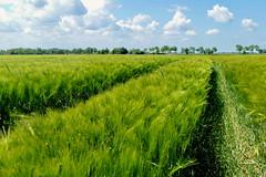 Spuren im Getreidefeld - Tracks in  the grain field (antje whv) Tags: landscape landschaft feld field getreide grain wolken norddeutschland northgermany spuren tracks