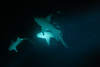 Immersione notturna tra gli squali Nutrice. Night dive with Tawny Nurse shark (Nebrius Ferrugineus). (omar.flumignan) Tags: tawnynurseshark squalo nutrice squalonutrice nebriusferrugineus night dive nightdive immersione notturna immersionenotturna alimathajetty malè atollo atoll holiday vacanza maldive maldives sea mare canon g7xmk2 fantasea fg7xmk2 ikelite ds51 mares rz12 flickrtravelawards allnaturesparadise flickrsbest ngc malèsud southmalè