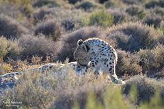 Ghepardo (Fabio Bianchi 83) Tags: africa southafrica sudafrica safari animali animals wildlife natura nature karoo westerncape travel viaggiare