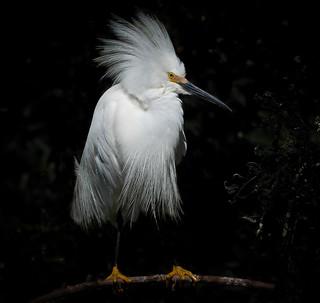 Snowy Egret, Orange County, FL [Explore 14 June 2017]