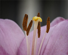 Lily Macro (A Anderson Photography, over 2.6 million views) Tags: lily macro canon flower stamen ruby3