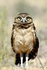 owl newmexico burrowingowls birds loslunas