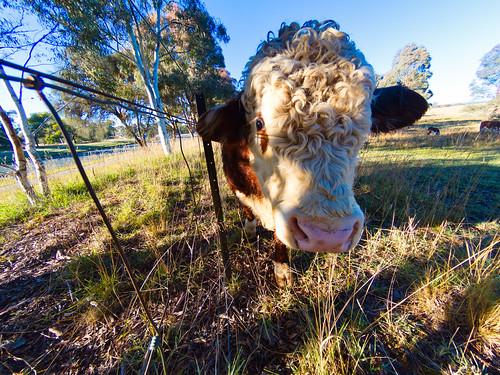 Lake Ginninderra cow closeup