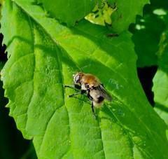 Bott Fly (REGOR NOTPUL) Tags: bott fly parasite cattle glenburnie ontario