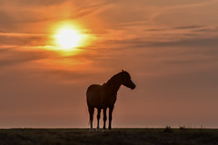 Local horse (powerfocusfotografie) Tags: horse silhouette sun sunset outdoors evening backlight henk nikond7200 powerfocusfotografie