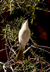 Honey Eater (shashin62) Tags: australia southaustralia flinders ranges flindersranges nature outback wilderness fauna