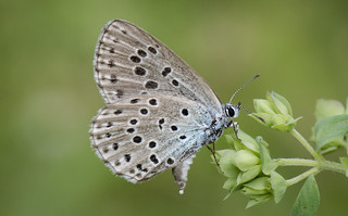 Large Blue, With Egg