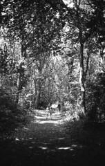Walk in forest (Arne Kuilman) Tags: castricum forest path pad kentmere kentmere100 iso100 blackandwhite homedeveloped rodinalspezial rodinal 135 yashica yashica35gx gx k100 scan epson v600 1200dpi 354311 film believeinfilm rangefinder manualfocus noordhollandsduinreservaat