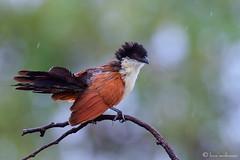 Raindrops keep falling .... (Explore) (leendert3) Tags: burchell'scoucal leonmolenaar krugernationalpark southafrica wildlife nature bird ngc npc sunrays5