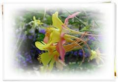 "The ""Not Simple"" Two ... ◔‿◔ ... ( FAVES STOP !! ) (ljucsu) Tags: flowers flowersmacro plant outdoor gardenflowers spring springflowers may mayflowers aquilegia grannysbonnet columbine haranglábvagysasfű водосбо́рилио́рликилиаквиле́гия ngc npc"