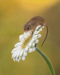 Harvest mouse (hehaden) Tags: rodent mouse harvestmouse micromysminutus flower gerbera captivelight bournemouth