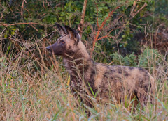 African wild dog (Lycaon pictus) (Peter du Preez) Tags: african wild dog lycaon pictus