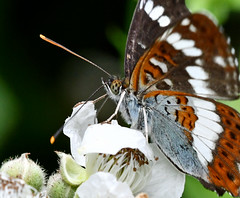 White Admiral in Ryton Woods (robmcrorie) Tags: ryton woods warwickshire coventry butterfly nature reserve wildlife nikon d7500 ed lens white admiral vr 200500