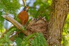 Watch out for Dad, he went to bring take out (catoledo) Tags: 2017 americanrobin chicago mortonarboretum chics nest