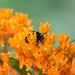 (Fritter and Waste) Tags: mortonarboretum nature bokeh 60mm wild wildlife macro orange