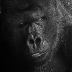 Gorilla (JPJ Photo) Tags: sony a7 70200 fe f4 nature wildlife animals gorilla bw blacknwhite monochrome black white eyes alpha