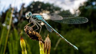 Gandalf the Dragonfly