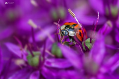 Sometimes in life... you just have to FOCUS on what's important... (Kerriemeister) Tags: purple ladybug lady red spotty insect alliums allium flower nature york nikon dof shallowdepthoffield