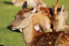 Feeling calm (Teruhide Tomori) Tags: deer wild nature nara japan japon animal ニホンジカ 奈良 動物 日本 野生