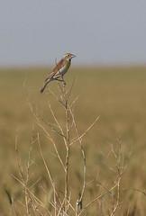 dick-m-easterncimarronco-6-10-17-tl-04-cropscreen (pomarinejaeger) Tags: keyes oklahoma unitedstates bird dickcissel spizaamericana
