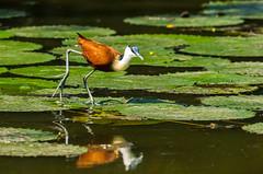 African Jacana - Actophilornis africanus (zsispeo) Tags: actophilornis jacanidae africanus southafrica bird jacana krugernationalpark lakepanic jacanaàpoitrinedorée safari afriquedusud african