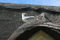Seagull (Crisp-13) Tags: shanklin isle wight bird tea room seagull thatched roof vernons