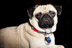 Too Bright (johnorndorff) Tags: pugsley dog christmas2016 animal