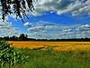 Goldenes Weizenfeld im abendlichen Gegenlicht. (W@llus2010) Tags: himmel wolken nikon p900 35mm weitwinkel landschaft weizenfeld gegenlicht