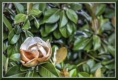 Flower_1182d (bjarne.winkler) Tags: tree flower magnolia very green leaves