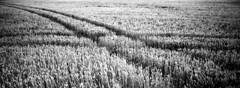 Wheat Trails (selyfriday) Tags: selyfriday wwwnassiocomempty nassiocom xpan hasselblad 45mmf4 panorama wide analogue rangefinder film 35mm 135 rollei ret ro80s 80iso rolleiretro80s expired rodinal 1100 20˙c 60minutes netherlands holland dutch neder land zeeland wheat field trails tracks lines