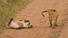 Lions of Maasai Kopjes 431 (Grete Howard) Tags: bestsafarioperator bestsafaricompany africa africansafari africanbush africananimals whichsafaricompany whichsafarioperator tanzania serengeti animals animalsofafrica animalphotos lions lioncubs maasaikopjes kopjes kopje