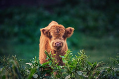 deep in the meadow (Lena Held) Tags: kuh baby cow animals pets tiere natur landschaft frühling kälbchen spring may oberpfalz bayern deutschland telezoom tamron wildlife 150600mm canon 5dsr global world travel colors outside