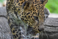 Walking down log (stephanieswayne1) Tags: whiskers mouth nose endangered spots zoo columbus cat big animal wild portrait profile close face eyes alert awake up walking log beautiful cute young baby cub leopard african