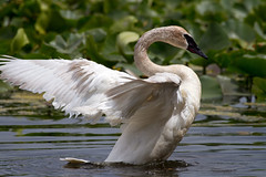 Trumpeter Swan (sarasonntag) Tags: kellogg bird sanctuary augusta michigan spring june 2017 trumpeter swan water outdoor