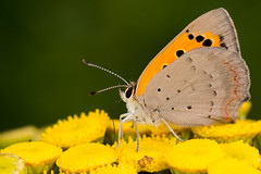 Small Copper Butterfly (Lycaena phlaeas) (The LakeSide) Tags: insect macro nikon r1c1 d7100 netherlands tanacetum vulgare lycaena phlaeas butterfly small copper