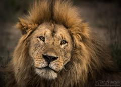 Wild Lion of Ndutu (Explore 6/7/2017) (tkfranzen) Tags: lion pantheraleo ndutu africa animalplanet africansafari africanwildlife africanlion wildlifephotography naturephotography tnclivenature