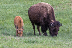 Bison calf and cow grazing along the river