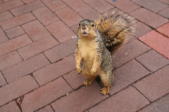 29/365/3316 (July 10, 2017) - Squirrels in Ann Arbor at the University of Michigan (July 10th, 2017) (cseeman) Tags: gobluesquirrels squirrels annarbor michigan animal campus universityofmichigan umsquirrels07102017 summer eating peanut julyumsquirrel umsquirrel 2017project365coreys yeartenproject365coreys project365 p365cs072017 356project2017 exploredcseeman