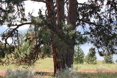 Ponderosa Pine, Kelowna BC (nikname) Tags: lakeokanagan kelownabc knoxmountaintrail kelownabccanada bcparks trees
