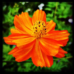 Irresistible orange. #takoma #dc #dclife #washingtondc #iPhone365 #iPhone7plus #iPhone #iPhonemacro #macro  #flower #flowersofinstagram (Kindle Girl) Tags: iphone takoma dc dclife washingtondc iphone365 iphone7plus iphonemacro macro flower flowersofinstagram