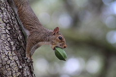 hard to swallow (andrewdickinson3) Tags: squirrel nature wildlife eating corn fullmouth miami florida hungry determined brown green flickr love beauty fancy