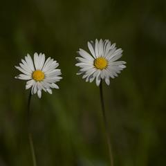 Tête-à-tête (Titole) Tags: pâquerettes bellisperennis daisies daisy two squareformat titole nicolefaton