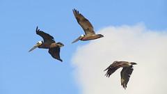 IMG_0393.1 (mikehogan2) Tags: padreisland nationalseashore texas pelicans