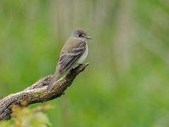 Alder Flycatcher (bakosmike) Tags: alder flycatcher bird small tiny woods nikon d300 sigma 150600mm contemporary animal wildlife nature